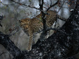 A Leopard (Panthera Pardus) in a Tree Photographic Print by Chris Johns