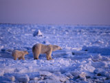 A Polar Bear and Her Cub Cross an Ice Field Photographic Print by Norbert Rosing