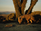 A Gray Fox in Front of Columnar Cacti Photographic Print by Joel Sartore