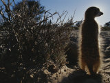 A Meerkat (Suricata Suricatta) Stands Next to its Burrow Photographic Print by Mattias Klum