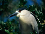 An Adult Black-Crowned Night Heron Photographic Print by Scott Sroka