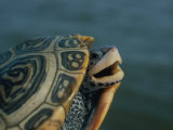 Diamondback Terrapin Photographic Print by Robert Madden