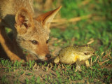 A Golden Jackal is Curious About an African Bullfrog Photographic Print by Beverly Joubert