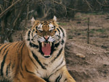 A Captive Tiger with Mouth Wide Open Photographic Print by Roy Toft