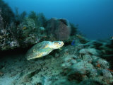 An Endangered Loggerhead Turtle Emereges from Beneath a Reef Ledge Photographic Print by Brian J. Skerry