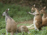 A Group of Captive Antelopine Kangaroos, Macropus Antelopinus Photographic Print by Tim Laman