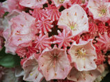Close View of Blossoming Mountain Laurel Photographic Print by Darlyne A. Murawski