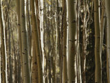 A Large Grouping of Birch Trees Photographic Print by Paul Damien