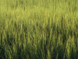 A Lush Patch of Aquatic Grasses in a Marsh Photographic Print by Heather Perry