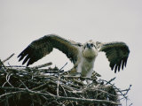 Osprey on its Nest Photographic Print by W. E. Garrett