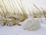 An Arctic Fox Curls up in the Snow for a Nap Photographic Print by Norbert Rosing
