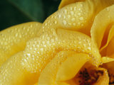 Close View of Dew on Olympic Gold Rose Petals Photographic Print by Jason Edwards