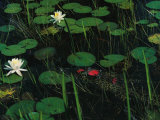 A Cuban Crocodile Lurks Almost Concealed Among Water Lily Pads and Blossoms Photographic Print by Steve Winter