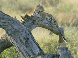 A Leopard Relaxes on a Fallen Tree Branch Photographic Print by Skip Brown