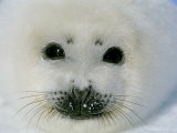 The Face of a Baby Harp Seal in the Fat Whitecoat Stage Photographic Print by Brian J. Skerry