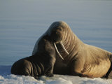 An Infant Atlantic Walrus Nuzzles its Mother Photographic Print by Norbert Rosing