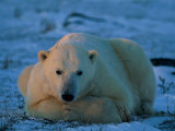 An Adult Polar Bear (Ursus Marititmus) at Ease Photographic Print by Norbert Rosing