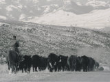 A Shot of Ranchers Pushing Cattle in December Photographic Print by Bobby Model