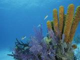 Fish Swim Near Colorful Sponges, Tunicates, and Bryozoans Reproduction photographique par Brian J. Skerry