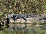 Alligator Basking on Tree Trunk, Belize Photographic Print by Barry Tessman