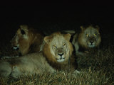 Eyes of Several African Lions Glow from a Strobe Flash in This Night View Photographic Print by Beverly Joubert