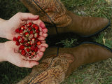A Pair of Hands Holds Wild Strawberries Between a Pair of Cowboy Boots Photographic Print by Annie Griffiths Belt