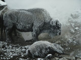 Shaggy with Rime, an American Bison Warms Himself at a Fumarole Photographic Print by Michael S. Quinton