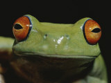 Colorful Close View of Red-Eyed Tree Frog Photographic Print by Jason Edwards