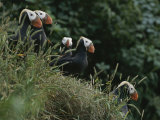 A Group of Tufted Puffins on a Grassy Hillside Photographic Print by George F. Mobley
