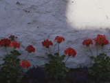 Red Geraniums Growing in a Flowerbed Alongside a White Wall Photographic Print by Annie Griffiths Belt