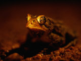 A Close View of a Houston Toad, an Endangered Species Photographic Print by Joel Sartore