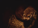 A Rare European Otter Peers into the Light from its Den Photographic Print by Nicole Duplaix