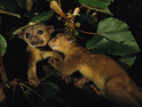 A Juvenile Kinkajou Nuzzles its Mother for Attention in a Balsa Tree Photographic Print by Mattias Klum