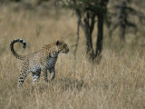 A Leopard on a Grassy Plain in Masai Mara National Reserve Photographic Print by Roy Toft