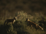 Red Fox Kits, Red Rocks National Wildlife Refuge, Montana Photographic Print by Raymond Gehman