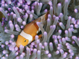 Clown Anemonefish in Sea Anemone, Sipadan Island, East Malaysia Fotoprint van Joe Stancampiano