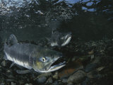 Underwater View of Two Salmon Photographic Print by Karen Kasmauski