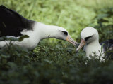 Gentle Greeting, Demure Response Mark the Courtship of the Laysan Albatross Photographic Print by William Allen