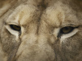 A Close View of the Head of a Lion Photographic Print by Jason Edwards