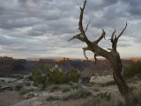 Scenic View of Canyonlands with Mesas and a Knarled Tree Photographic Print by Stephen Alvarez