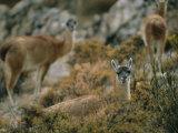 Llamas Grazing on High Desert Vegetation in the Atacama Desert Photographic Print by Joel Sartore