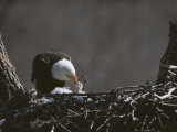 An American Bald Eagle Feeds its Chick Photographic Print by Roy Toft