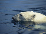 Polar Bear, Wager Bay, Northwest Territories, Canada Photographic Print by Joe Stancampiano