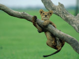 A Lion Cub Hangs from a Branch Fotografie-Druck von Beverly Joubert