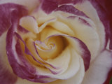 A Close View of a Cream Colored Rose with Pink Edges Photographic Print by Ted Spiegel