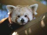 Close View of a Red Panda Lámina fotográfica por Sartore, Joel