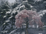Magnolia Blossoms and Conifers Blanketed in Snow Endure a Cold Snap Photographic Print by Jonathan Blair
