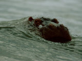 A Hippopotamus (Hippopotamus Amphibius) Nearly Submerged in the Surf Photographic Print by Michael Nichols