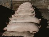Domestic Swine Chow Down at a Feed Trough Photographic Print by Jodi Cobb