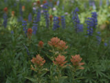 Indian Paintbrush and Purple Lupine Wildflowers, Wyoming Photographic Print by Raymond Gehman